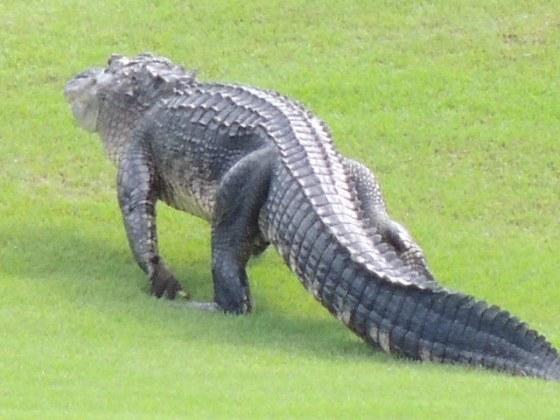 Gator heading into the brush