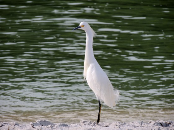 Snowy Egret at Blind Pass Beach