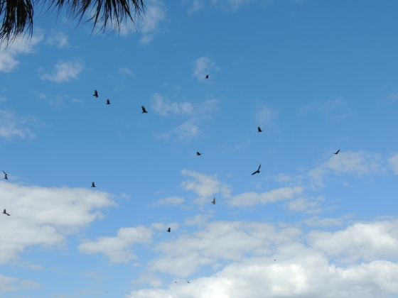 Turkey Vultures soaring above my house