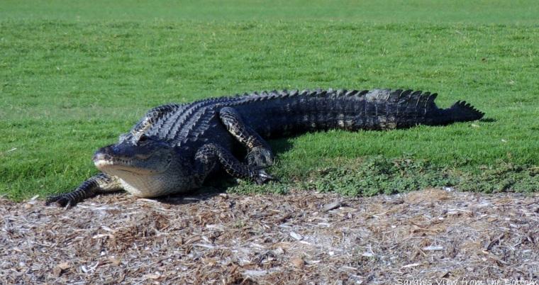 Alligator bitten tail
