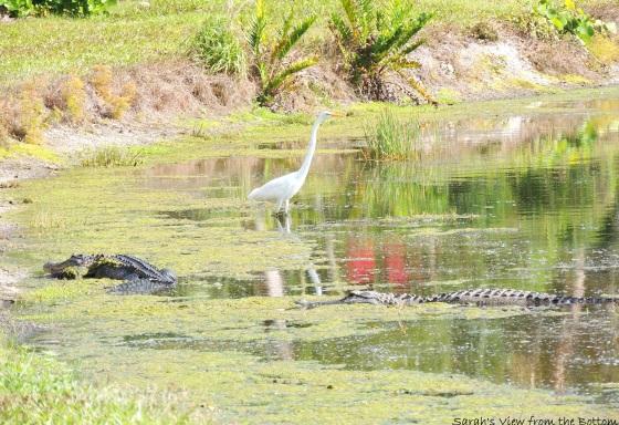 Gators & Egret