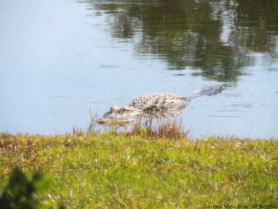 Gator at edge of pond